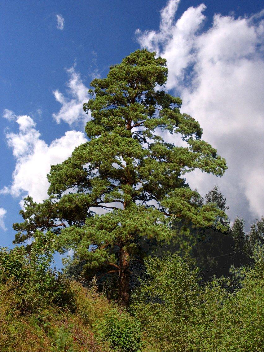 Сосна - это общее название для множества видов деревьев из семейства сосновых.
